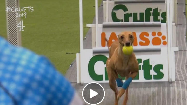 Flyball quarter finals at Crufts 2019 99