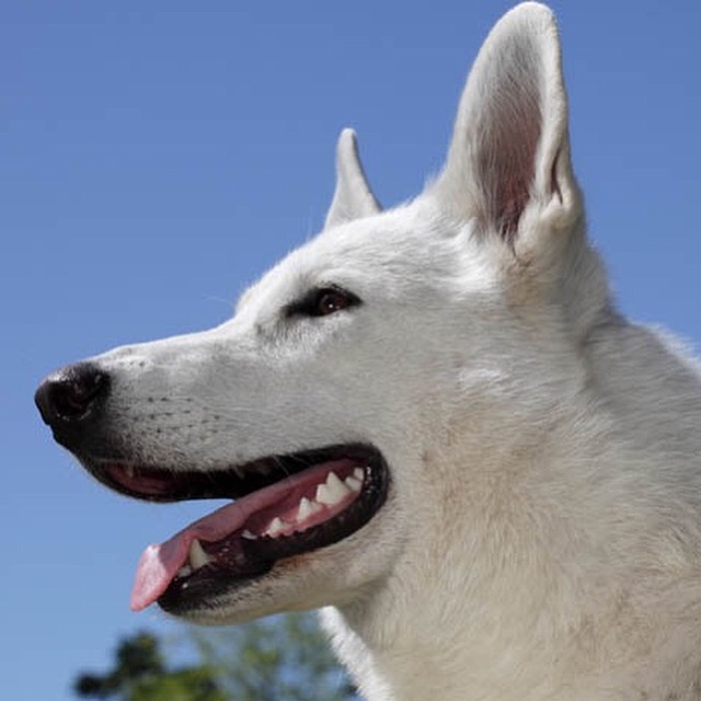 White Swiss Shepherd Dog 2